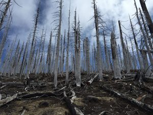 burnt trees in forest
